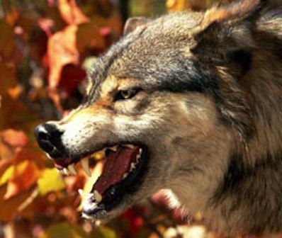 lobo-alfa